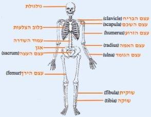 מבנה העצמות