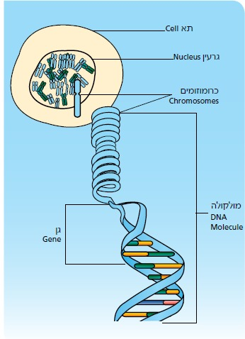 התא ומולקולת DNA